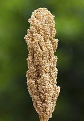 アメリカ穀物教会について